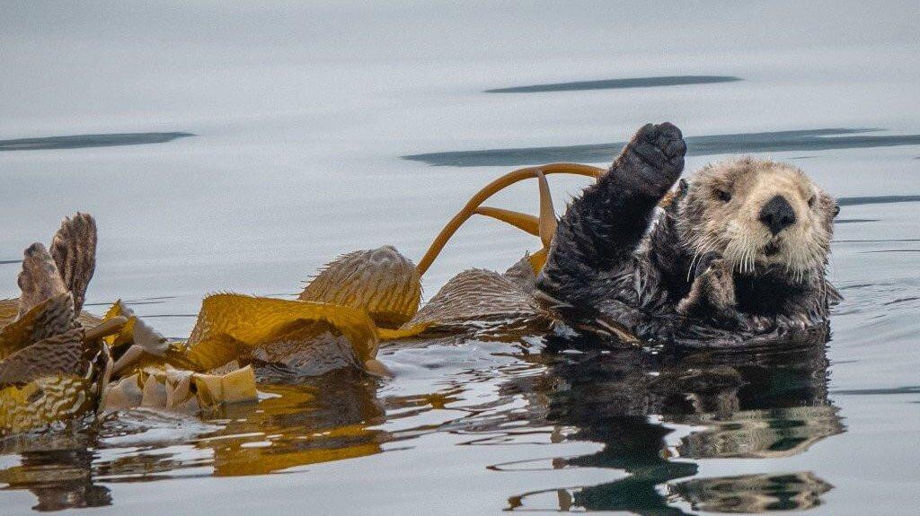 Sea otters a keystone species Not just travel